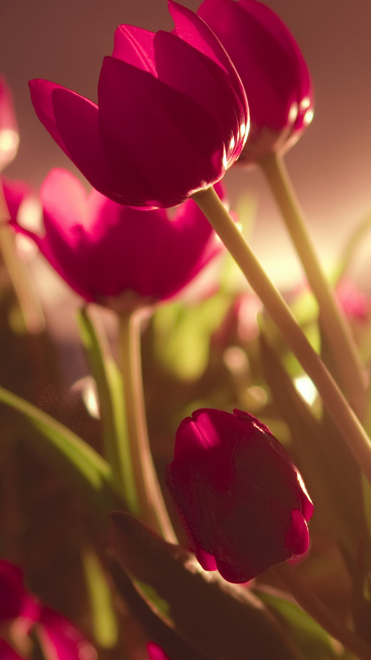 Beautiful Tulips Soft Light iPhone 6 Wallpaper